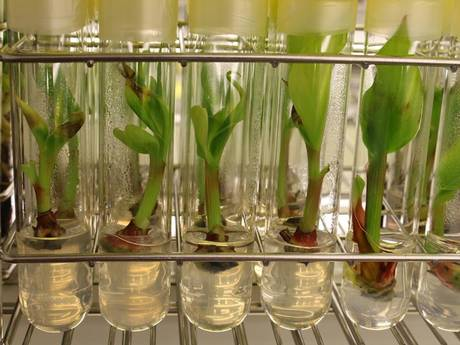 A lab holding the World Banana Collection at the University of Leuven